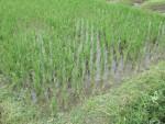 Sehr junges Reisfeld
