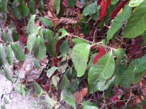 Pflanze mit rot-weissen Blättern