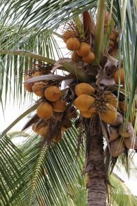 Kokosnüsse vor dem Balkon